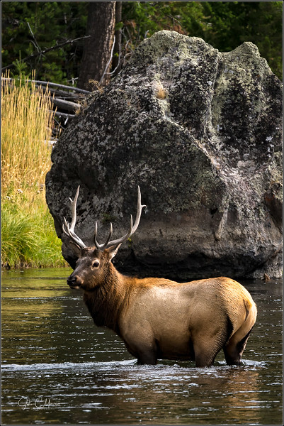 Bull Elk/Madison River