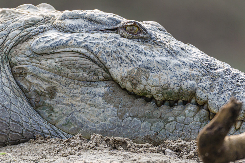Close up view of a Mugger crocodile (Crocodylus palustris) on the Rapti River in Chitwan National Park, Nepal