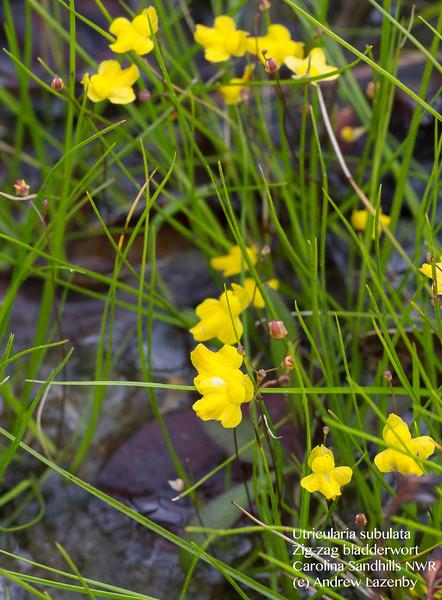 utricularia subulata.jpg