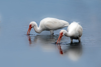 Ibis and More