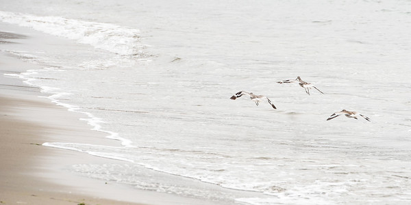 Willets at Dillon Beach