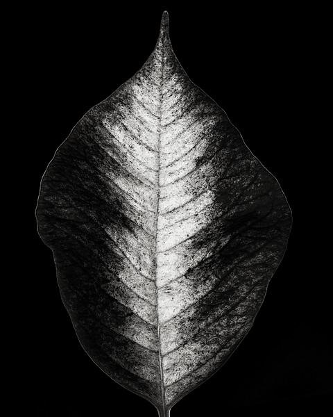 poinsettia-leaf.jpg