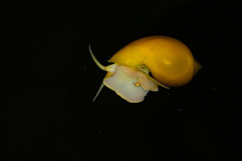 Spike-topped apple snail, Pomacea diffusa