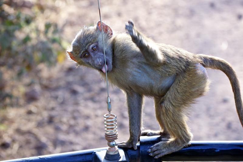 Baby baboon, Tanzania