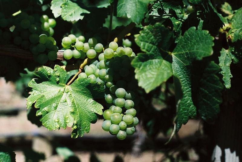 vineyard_1813550733_o.jpg