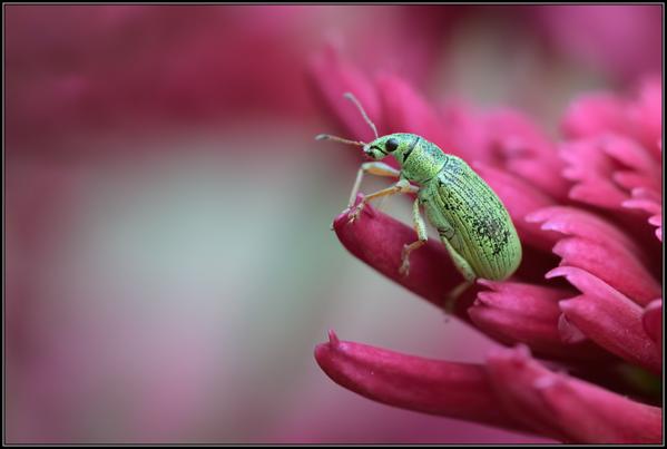 Groene Struiksnuitkever/Green leaf weevils