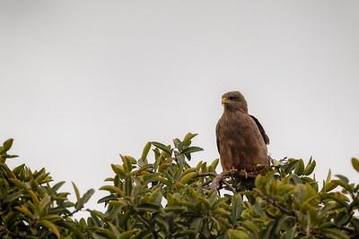 Svartglente (Black kite)