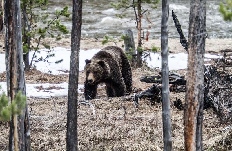 Grizzly bear boar male Yellowstone National Park WY IMG_0390.jpg