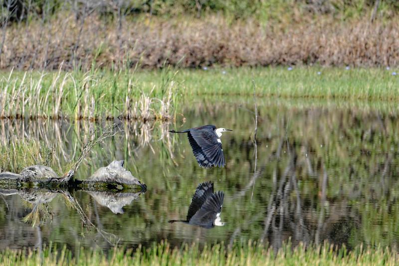 White-Necked Heron.