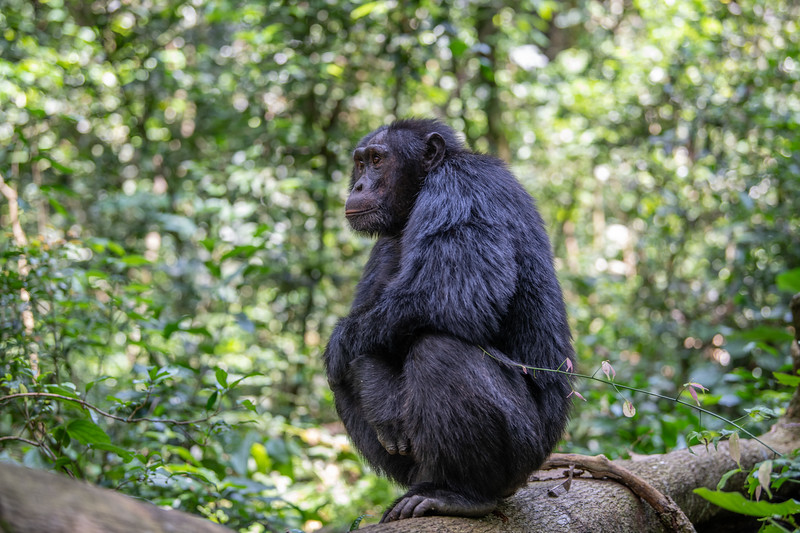 Uganda_T_Chimps-478.jpg