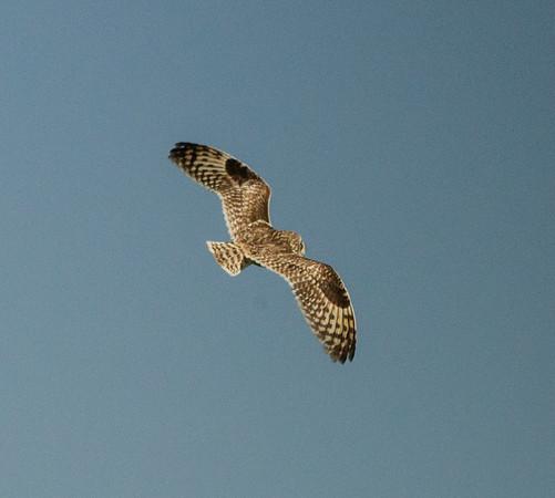Owls (Strigidae)