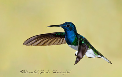 Hummingbirds of Trinidad and Tobago