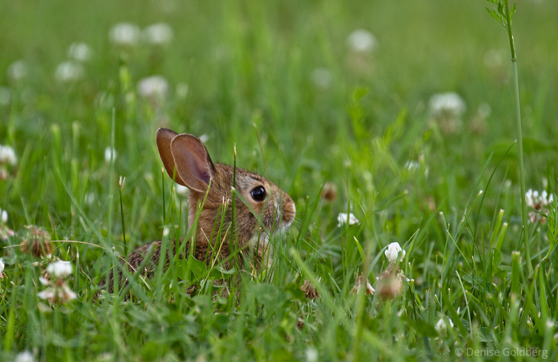 baby rabbit, hiding in the grass