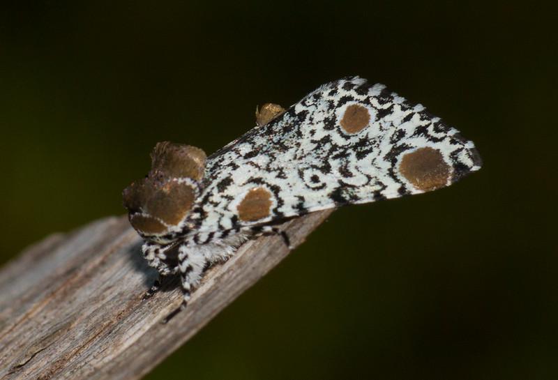 Harrisimemna trisignata Harris's Three-Spot moth 93-1498 9286 Family Noctuidae Skogstjarna Carlton County MN  IMG_0299.jpg