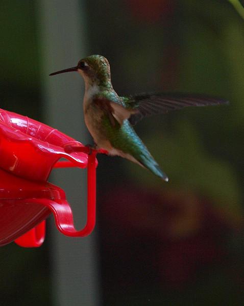 hummingbird on feeder.jpg