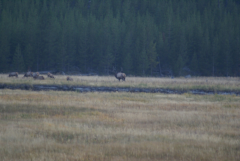 on the way out of the park saw people in a paddock.I was off out of the car running to see what was out there.a large bull elk.Hard to keep camera steady and focused ,had to find a stick to settle camera on and guess what ,Rob sat in car and got the best shots.