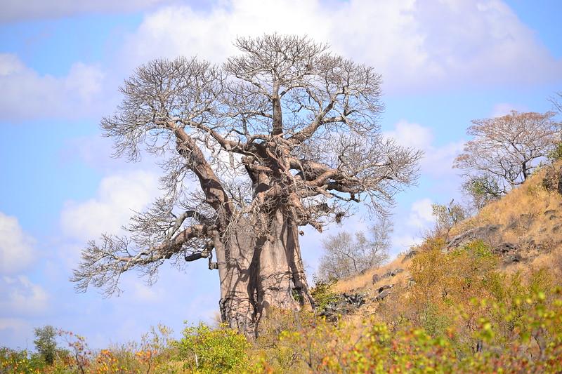 Large Baobab Tree
