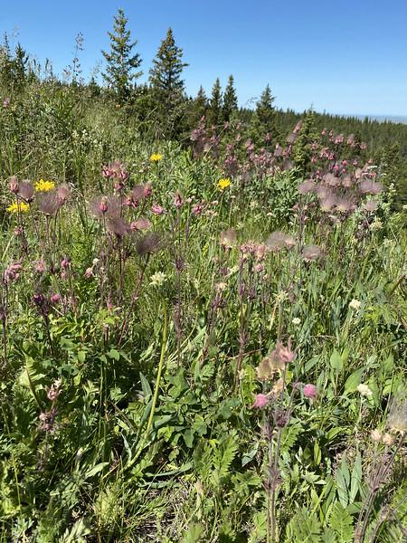 Geum triflorium, Three flowered aven, prairie smoke