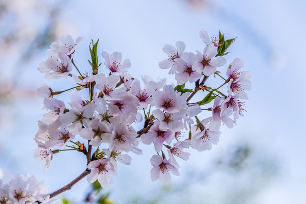 DC Cherry Blossoms (2014-04)