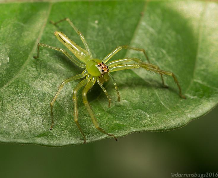 Jumping spider, genus Lyssomanes, from Belize.