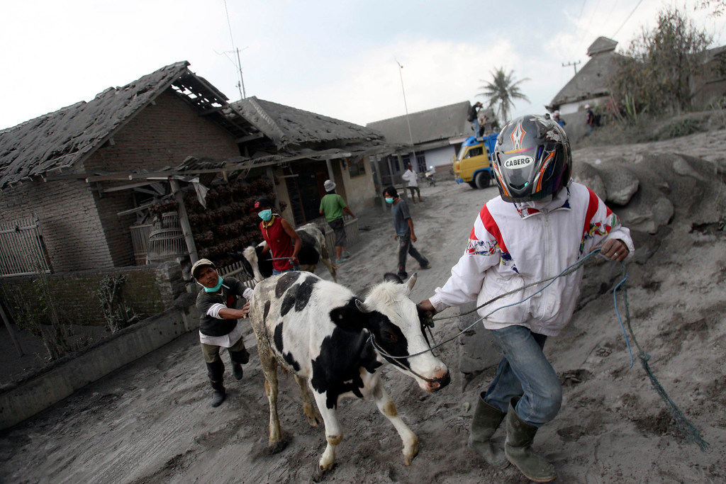 . Villagers evacuate their cattle following an eruption of Mount Kelud, in Malang, East Java, Indonesia, Sunday, Feb. 16, 2014. The eruption of the 1,731-meter (5,680-foot) -high mountain on Java island late Thursday was one of the most dramatic to hit Indonesia in recent years, with ash falling as far as 600 kilometers (370 miles) away. (AP Photo/Trisnadi)