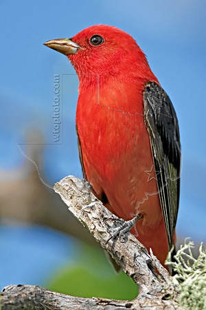 Tanagers, Cardinals, Buntings, and Grosbeaks