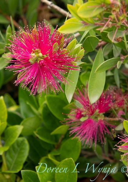 41365 Callistemon viminalis 'Neon Pink'_9483.jpg