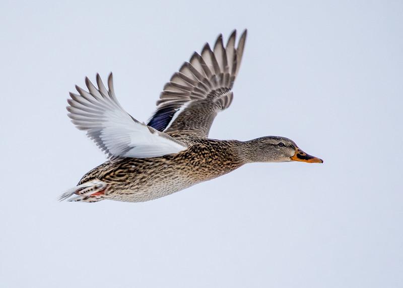 ducks-9.jpg