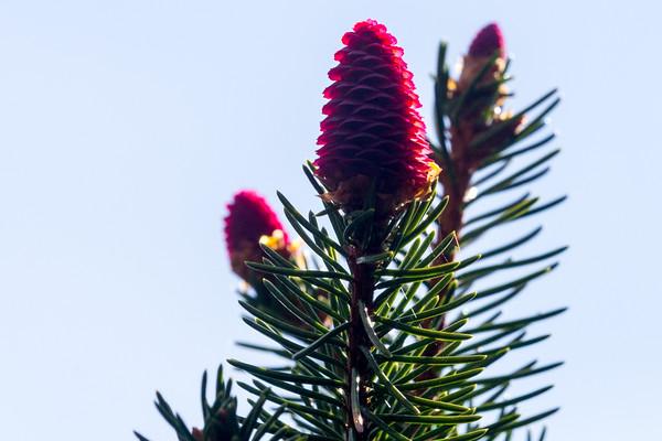Pink Pinecones