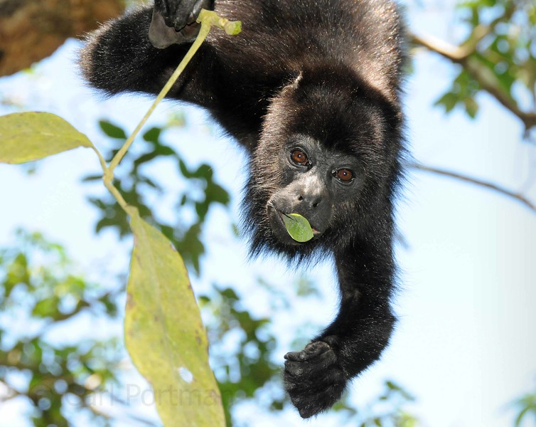 Howler Monkey at Lamanai.jpg
