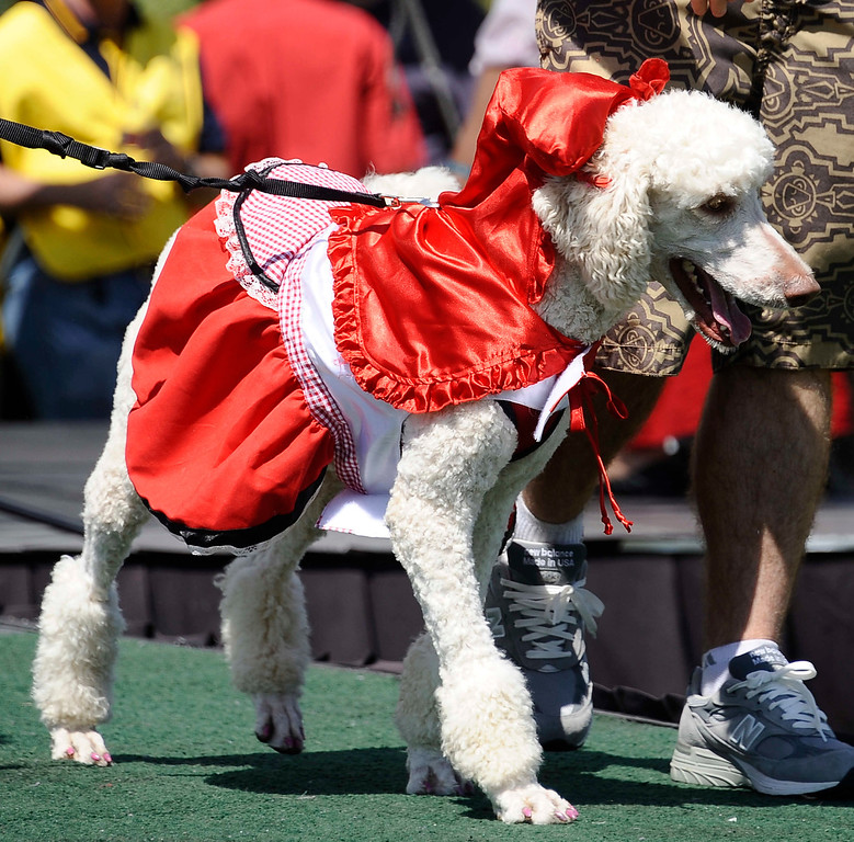 . April 21,2013. Calabasas. Dog\'s compete in fashion contest during the Canine Classic Dog Walk & Festival at Juan Bautista de Anza Park.  Photo by Gene Blevins/LA Daily News