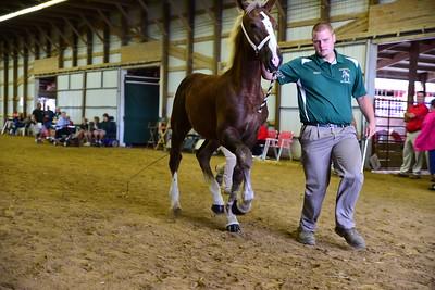 14 598 Belgian Stud Foal