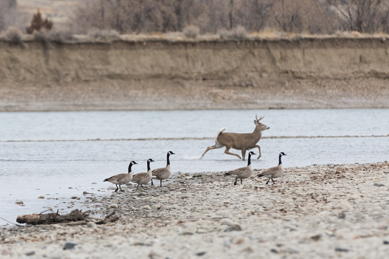 Whitetail Deer crossing the river on the Yellowstone River