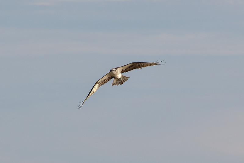 An Osprey flies along the beach at Long Key State Park.
