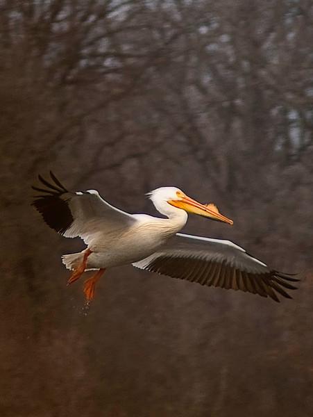 Pelican orange ft  1 .jpg