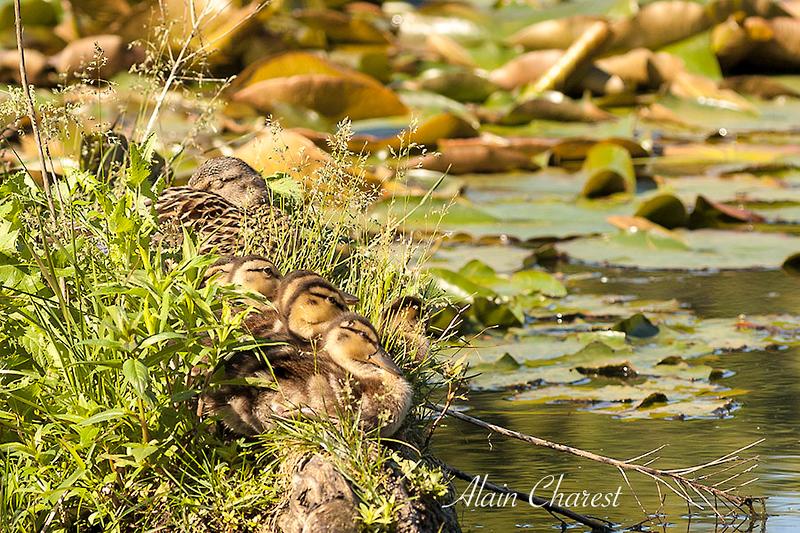 Le petit monde de l'étang.jpg