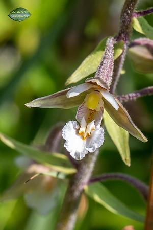 Épipactis des marais (Epipactis palustris)
