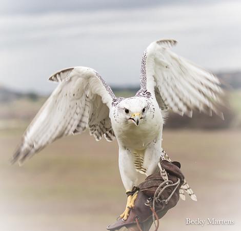 Hawk Watch - 2/9/2019