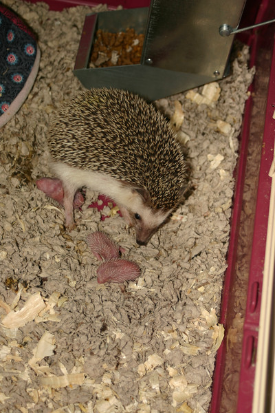 Litter - BB and Buttercup (04/25/2004)  Newborn: ~5 hours old.  Filename reference: 20040425-113725-HAH-Hedgehog_Babies