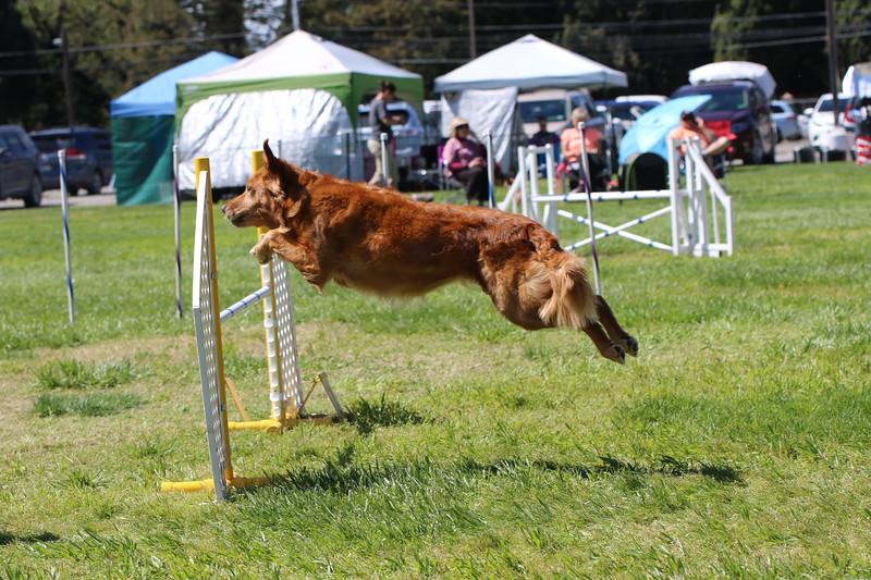 3-31-2018 Shetlant Sheepdog-4339.jpg