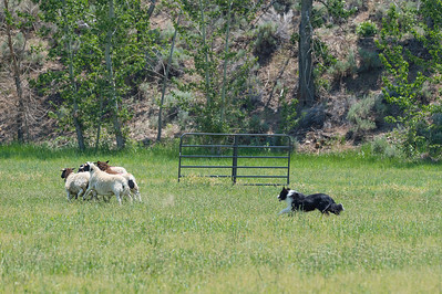 Course B Sheep