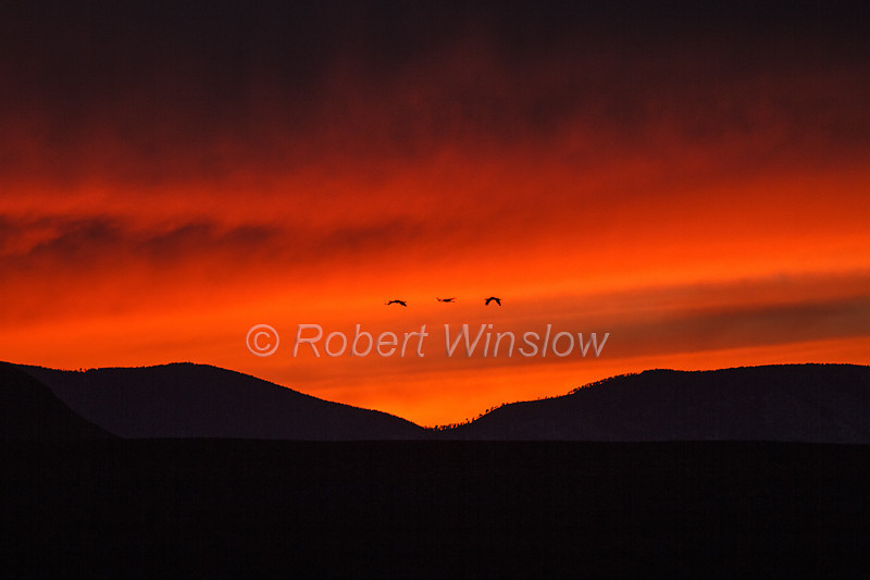 Three Sandhill Cranes, Grus canadensis, Flying, Sunset, Bosque del Apache National Wildlife Refuge, New Mexico, USA, North America