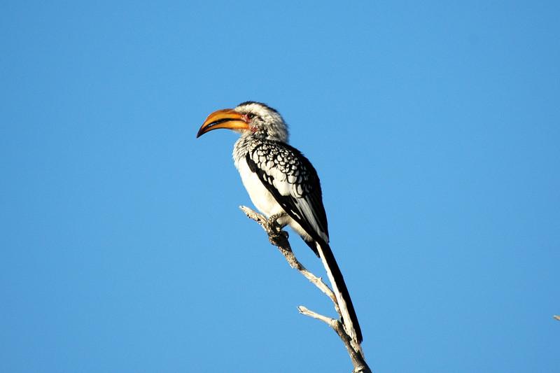 "Yellow Hornbill - the ""flying banana"" - Etosha"