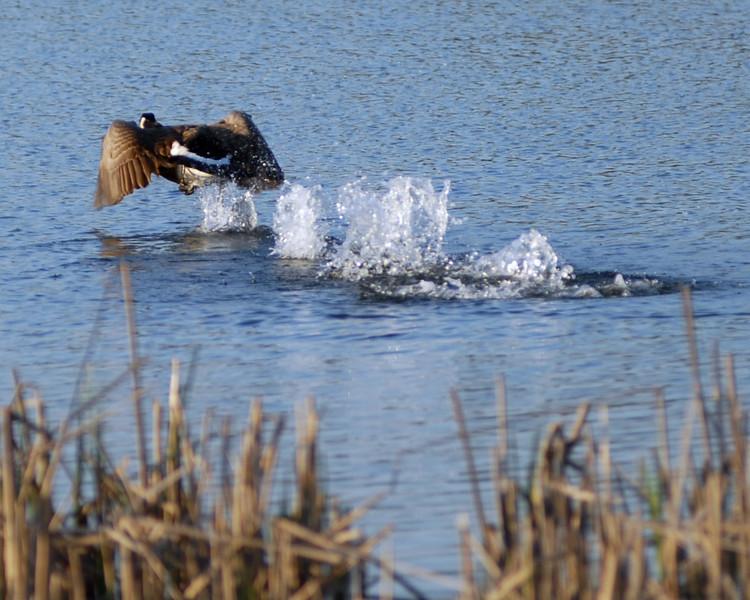 Goose taking off.jpg