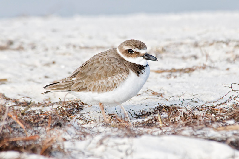 Plover - Wilson's - Bald Point State Park, FL