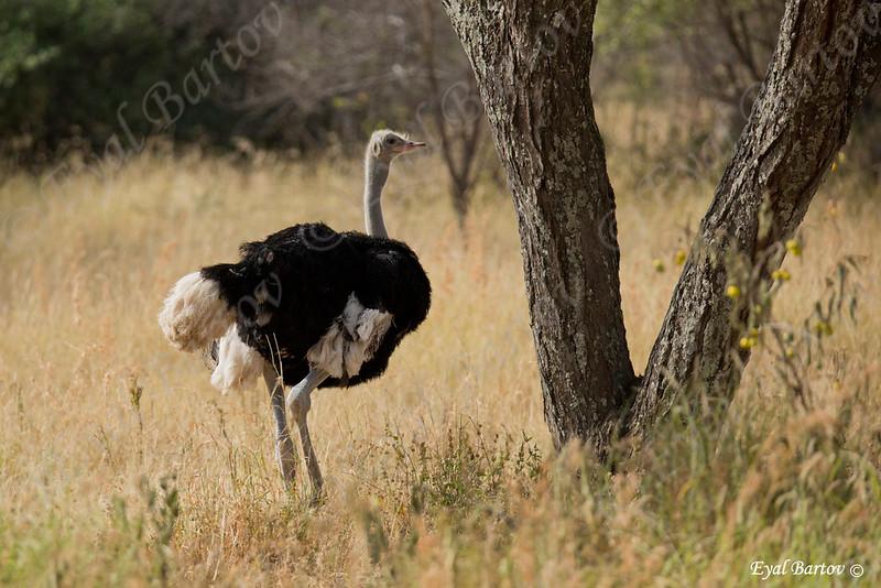 Somali Ostrich, Somali Strauss, Struthio molibdophanes