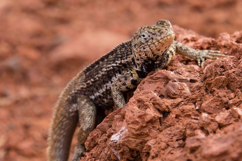 Male Galapagos Lava Lizard