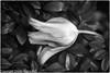 Tulpe-2