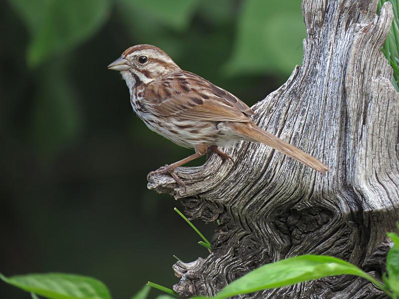 sx50_song_sparrow_boas_618.jpg