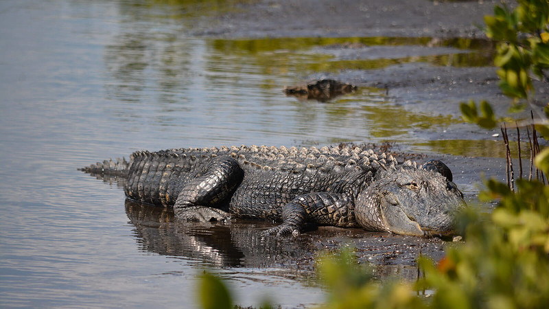 Large alligator sunning